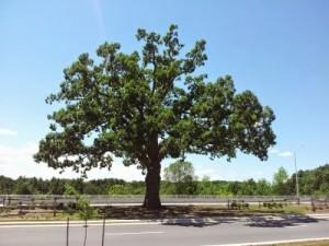 120701_133238-Bronte_Great_White_Oak_Tree